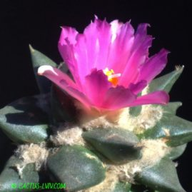 Ariocarpus confusus RS 324 Aramberi, NL. Щеплення, вік: 4 р. Власник: Я.П.Джура. Фото: Я.П.Джура.