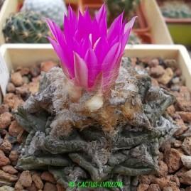 Ariocarpus fissuratus. На власному корінні. Вік рослини: 29 р.(посів 1985 р.). Власник: І.Б.Маринюк. Фото: І.Б.Маринюк.