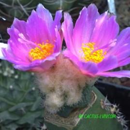 Ariocarpus hintonii. Щеплення, вік: 1 р. Власник: Я.П.Джура. Фото: Я.П.Джура.