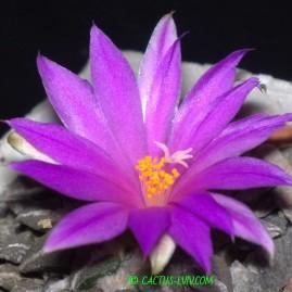Ariocarpus kotschoubeyanus. На власному корінні. Вік рослини: 18 р.(Посів 1993р.). Власник: Я.П.Джура. Фото: Я.П.Джура.