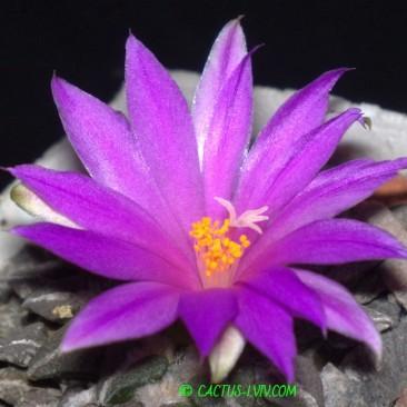 Ariocarpus/Neogomesia