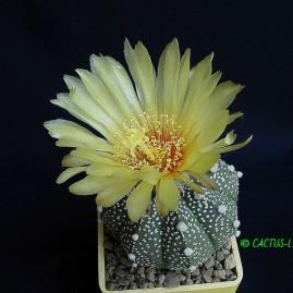 Astrophytum ascap. Власник: А.Ю.Печерський. Фото: А.Ю.Печерський.