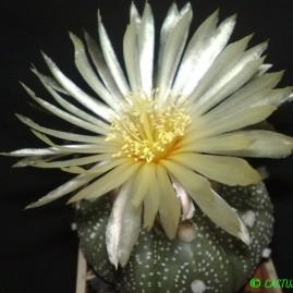 Astrophytum asterias. Вік рослини: 10 р. Власник: Я.П.Джура. Фото: Я.П.Джура.