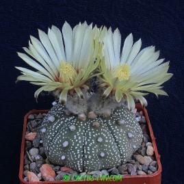 Astrophytum asterias. Власник: А.Ю.Печерський. Фото: А.Ю.Печерський.