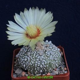 Astrophytum asterias cv.Kabuto. Власник: А.Ю.Печерський. Фото: А.Ю.Печерський.