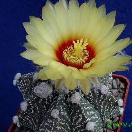 Astrophytum capas. Власник: А.Ю.Печерський. Фото: А.Ю.Печерський.