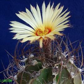 Astrophytum capricorne. Власник: А.Ю.Печерський. Фото: А.Ю.Печерський.