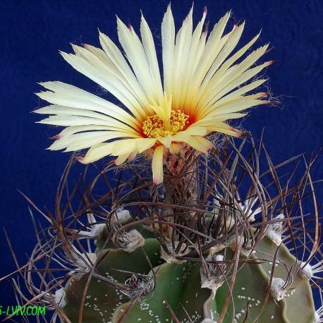 Astrophytum hybr. capricorne