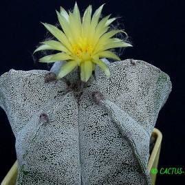 Astrophytum myriostigma. Власник: А.Ю.Печерський. Фото: А.Ю.Печерський.