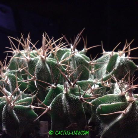 Astrophytum ornatum RS 189 Metztitlan (Dohnalik)