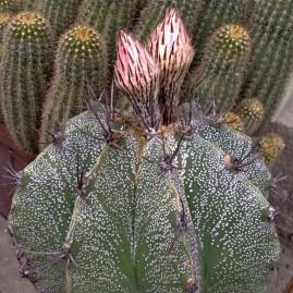 Astrophytum ornatum. Вік рослини: 17 р.(Посів 1992р.). Власник: Я.П.Джура. Фото: Я.П.Джура.