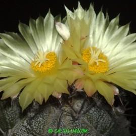 Astrophytum ornatum. Вік рослини: 19 р.(Посів 1992р.). Власник: Я.П.Джура. Фото: Я.П.Джура.