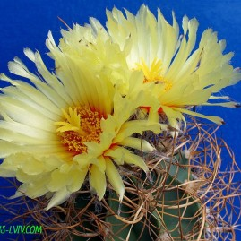 Astrophytum senile v.aureum. Власник: А.Ю.Печерський. Фото: А.Ю.Печерський.