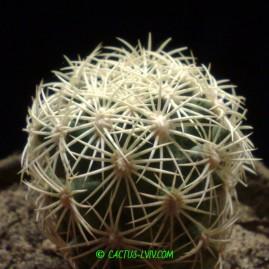 Coryphantha echinus SB 377 Val Verde Co, Tx, USA. Молода рослина, вік 4 р. Власник: Я.П.Джура. Фото: Я.П.Джура.