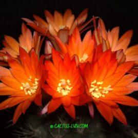 Eomatucana oreodoxa F.Ritter. Вік рослини: 15 р. Власник: Я.П.Джура. Фото: Я.П.Джура.