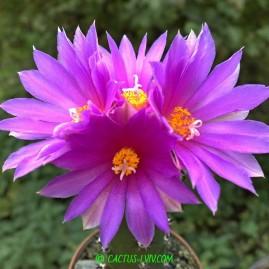 Neogomesia agavioides. Щеплення, вік: 1 р. Власник: Я.П.Джура. Фото: Я.П.Джура.