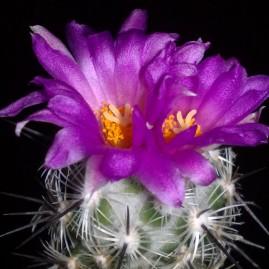 Neolloydia conoidea. Вік рослини: 8 р. Власник: Я.П.Джура. Фото: Я.П.Джура.