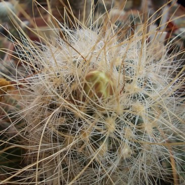 Pilocanthus