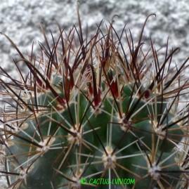 Sclerocactus parviflorus. Щеплення, вік: 7 р. Власник: Я.П.Джура. Фото: Я.П.Джура.