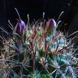 Sclerocactus parviflorus. Щеплення, вік: 8 р. Власник: Я.П.Джура. Фото: Я.П.Джура.