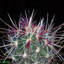 Sclerocactus polyancistrus Barstow, San Bernardino Co, USA. Щеплення, вік: 3 р. Власник: Я.П.Джура. Фото: Я.П.Джура.
