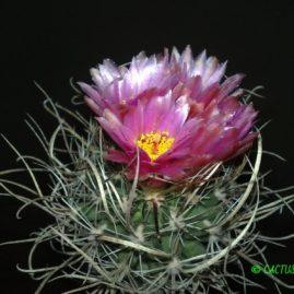 Sclerocactus schleseri SB 1015 Lincoln Co, Nev. Щеплення, вік: 4 р. Власник: Я.П.Джура. Фото: Я.П.Джура.
