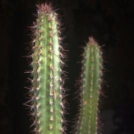 Cereus peruvianus. Молоді сіянці у віці 2 р. Використовують як підщепу. Висота: 17 см, діаметр: 1,5 см. Власник: Я.П.Джура. Фото: Я.П.Джура.