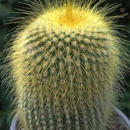 Eriocactus leninghausii. Власник: Я.П.Джура. Фото: Я.П.Джура.