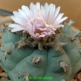 Lophophora williamsii. Рослина у віці 25 р. Власник: Я.П.Джура. Фото: Я.П.Джура.
