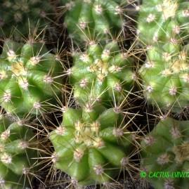 Trichocereus pasacana JN 480 - сіянці у віці 2 р. Використовують як підщепу. Власник: Я.П.Джура. Фото: Я.П.Джура.