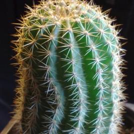 Trichocereus spachianus. Використовують як підщепу. Вік рослини: 3 р. Власник: Я.П.Джура. Фото: Я.П.Джура.