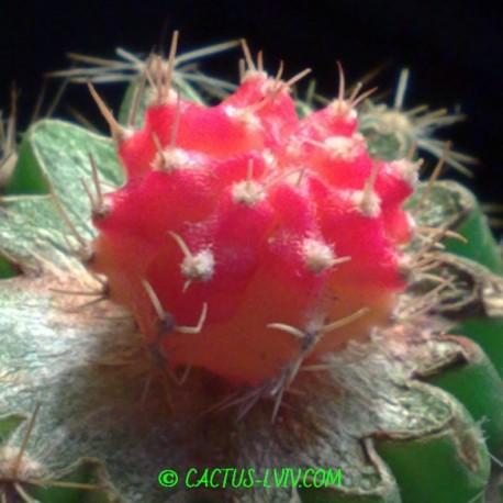 Gymnocalycium mihanovichii f.pink-yellow