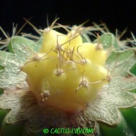 Gymnocalycium mihanovichii f.yellow-botan