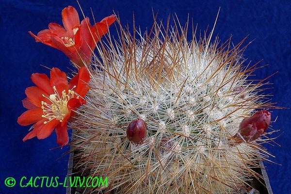 Aylostera fiebrigii v.densiseta