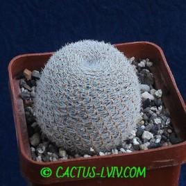 Aylostera heliosa v.condorensis