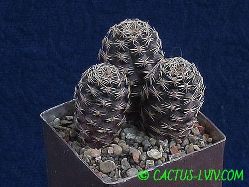 Mediolobivia pygmeae v.orurensis