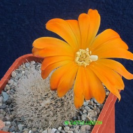 Mediolobivia aureiflora v.albilongiseta. Власник: А.Ю.Печерський. Фото: А.Ю.Печерський.