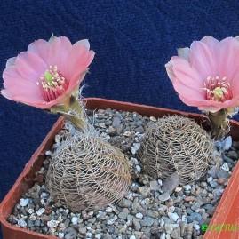 Mediolobivia canacrucensis. Власник: А.Ю.Печерський. Фото: А.Ю.Печерський.