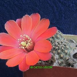 Mediolobivia haagei v.mudanensis. Власник: А.Ю.Печерський. Фото: А.Ю.Печерський.