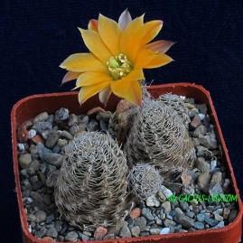 Mediolobivia pygmaea v.diersiana. Власник: А.Ю.Печерський. Фото: А.Ю.Печерський.