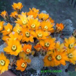 Mediolobivia pygmaea v.diersiana. Власник: Я.П.Джура. Фото: Я.П.Джура.
