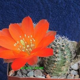 Mediolobivia rauschii WR 297. Власник: А.Ю.Печерський. Фото: А.Ю.Печерський.