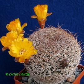 Sulcorebutia arenacea. Власник: А.Ю.Печерський. Фото: А.Ю.Печерський.