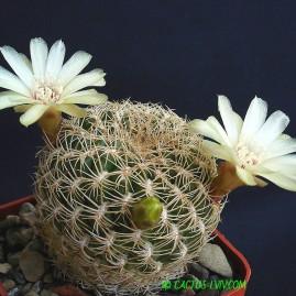 Sulcorebutia breviflora v.laui. Власник: А.Ю.Печерський. Фото: А.Ю.Печерський.