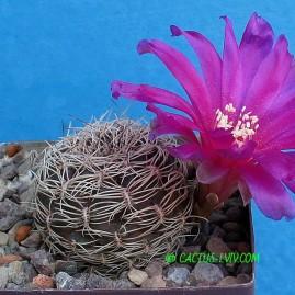 Sulcorebutia purpurea. Власник: А.Ю.Печерський. Фото: А.Ю.Печерський.