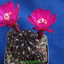 Sulcorebutia totorensis. Власник: А.Ю.Печерський. Фото: А.Ю.Печерський.