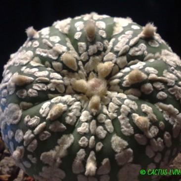 Astrophytum – гібриди