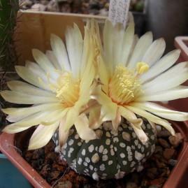 Astrophytum asterias cv.Super Kabuto. Вік рослини: 5 р. Власник: І.Б.Маринюк. Фото: І.Б.Маринюк.