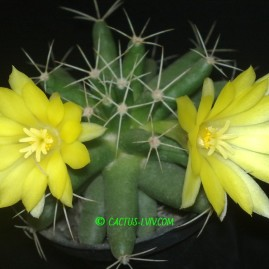 Dolichothele longimamma. Вік рослини: 15 р. Власник: Я.П.Джура. Фото: Я.П.Джура.