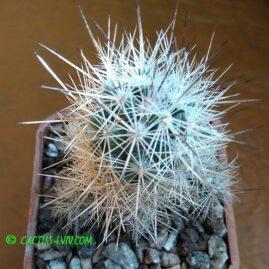 Escobaria dasyacantha SB 907 Presidio Co, Texas, USA -(Engelm.) Britton & Rose. Власник: С.Заскальний (Біла Церква). Фото: С.Заскальний.